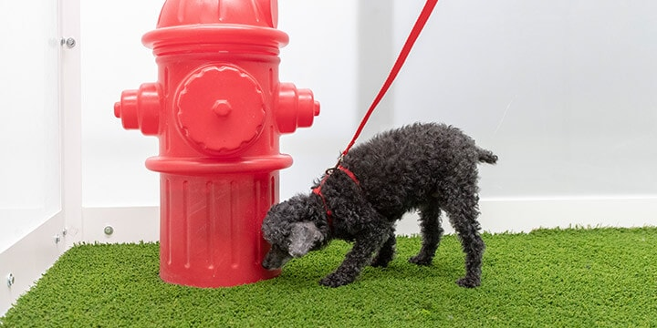 Dog sniffing plastic fire hydrant on artificial grass in Pet Relief Zone.